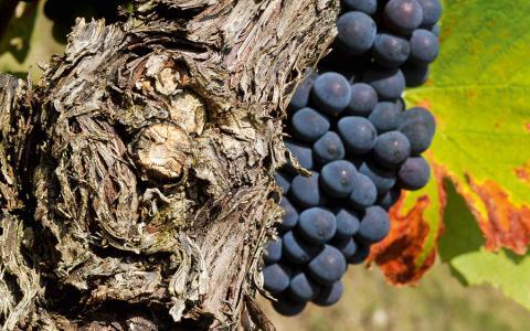 Vigne de Champagne - Pinot noir