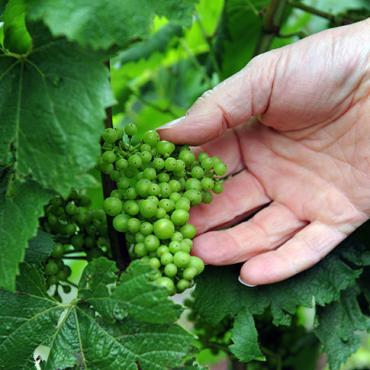 Vigne & raisins - Changy
